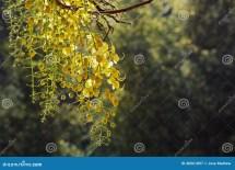 Golden Shower Flowers Stock - 40061897