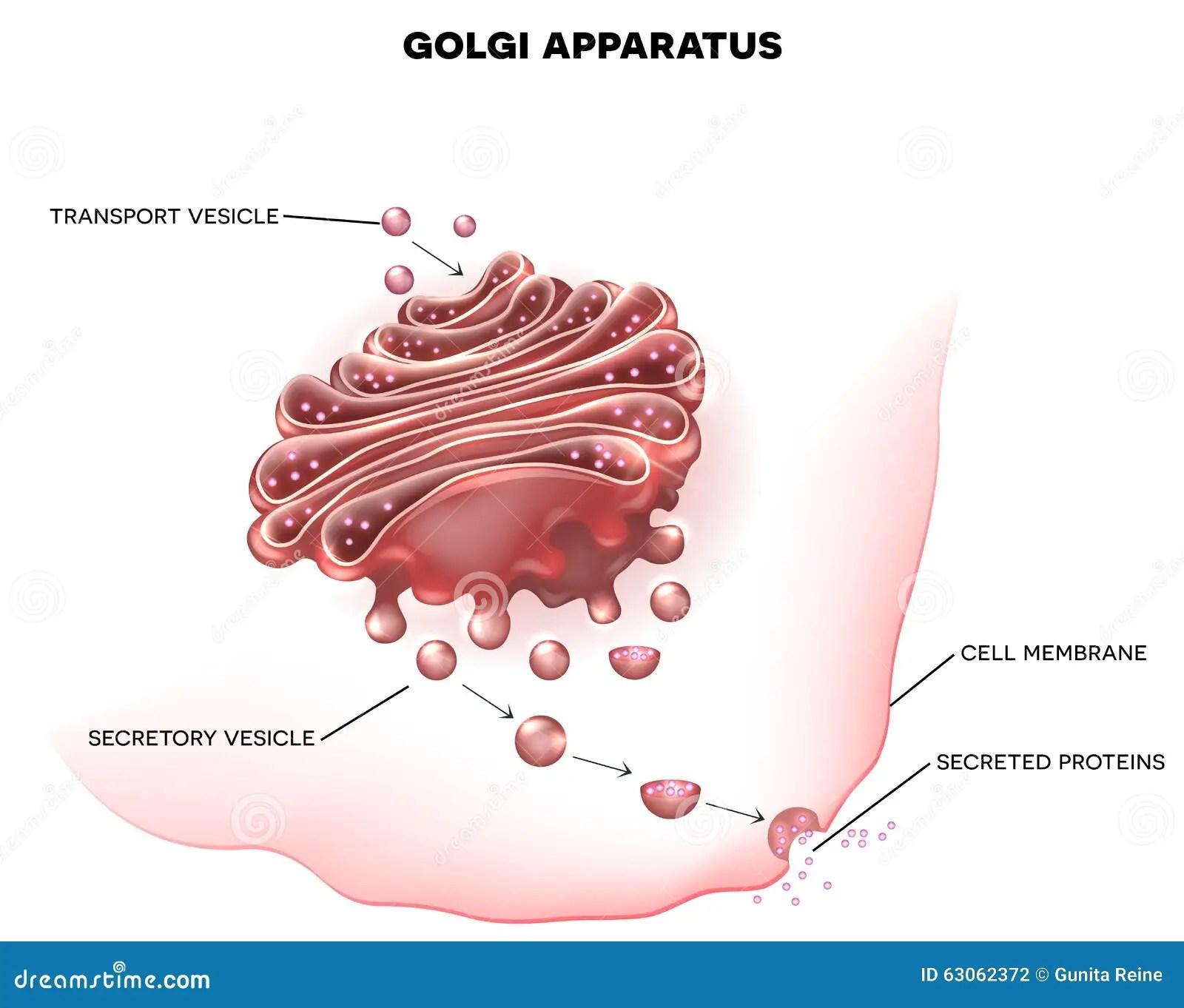 golgi apparatus structure diagram freak the mighty plot labeled