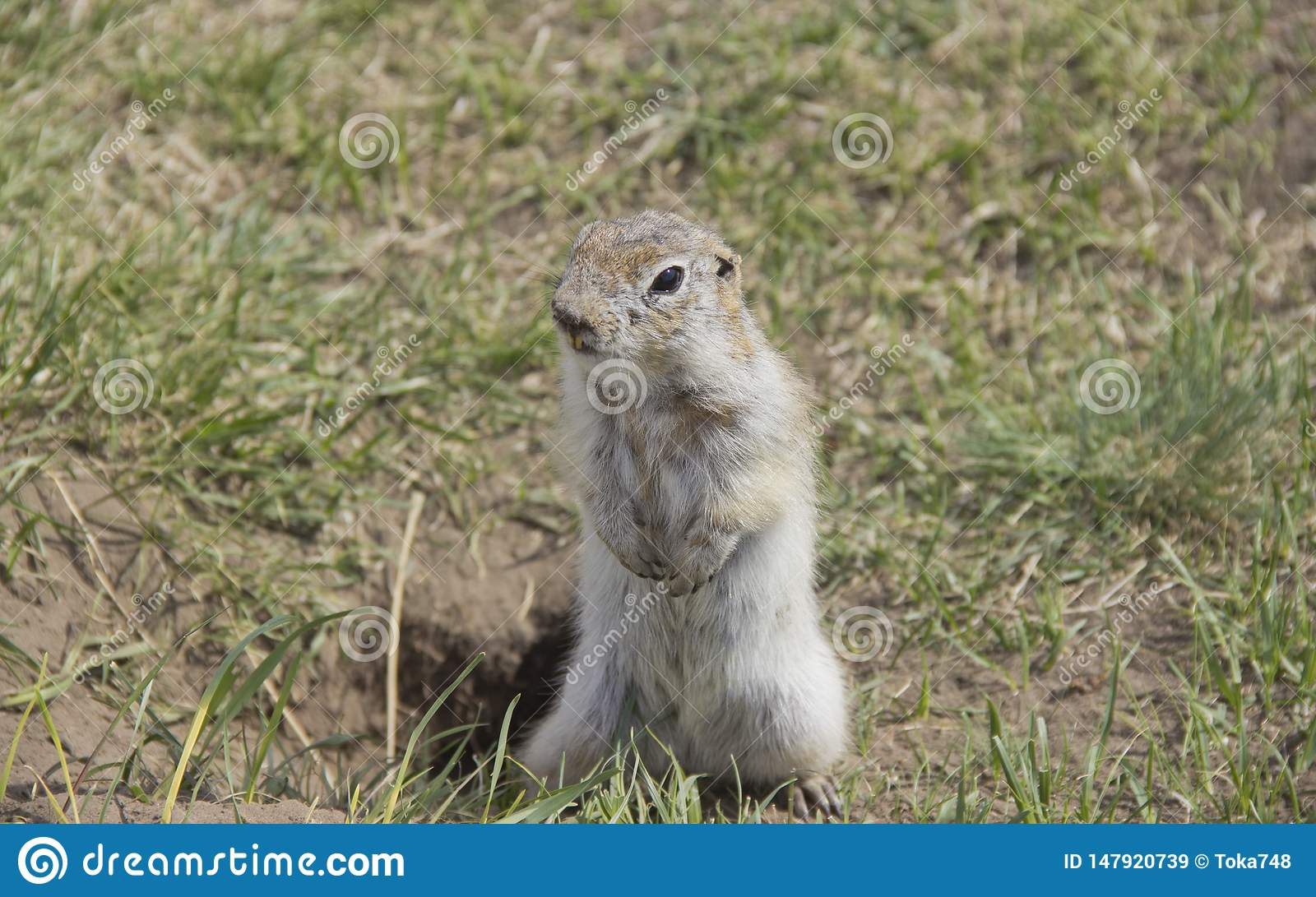 gopher genus rodents of