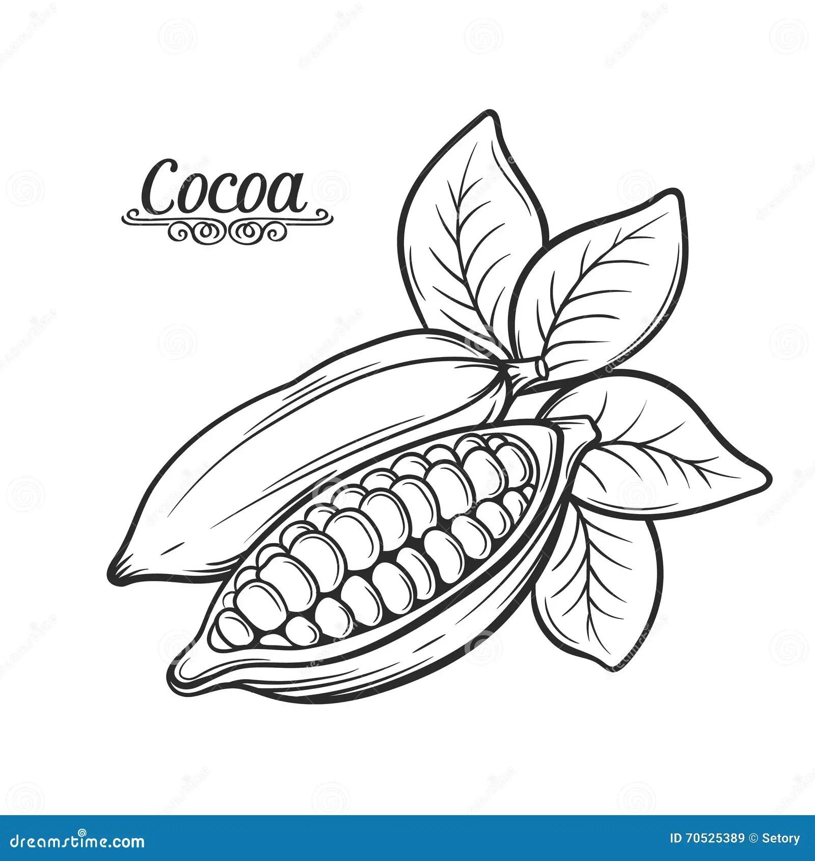 Graine De Cacao Stock Illustrations Vecteurs Amp Clipart