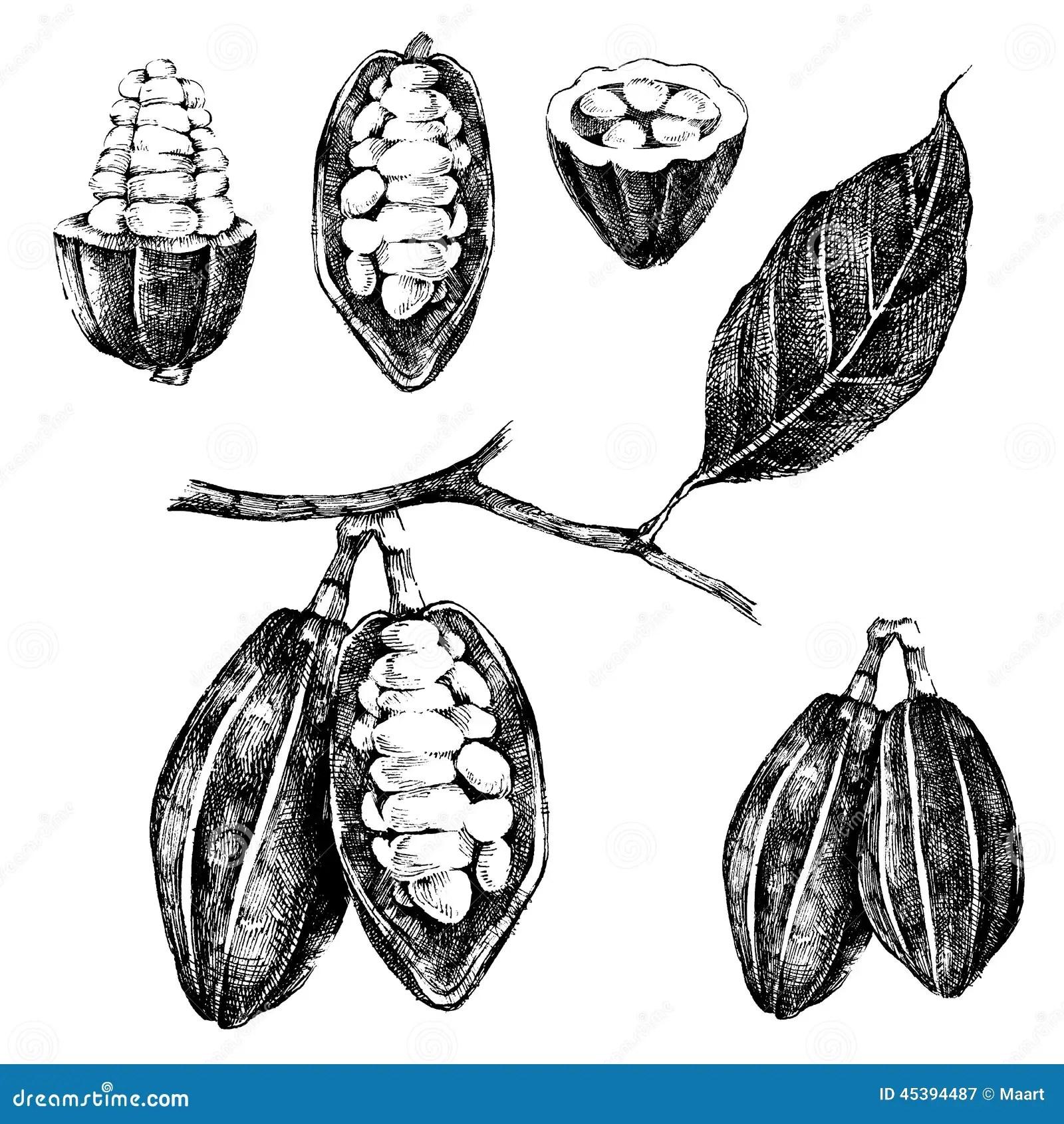 Graines De Cacao Tirees Par La Main Reglees Illustration