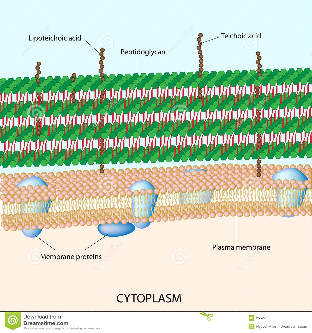 gram positive cell wall diagram 2007 ford fusion stereo wiring bacterial stock vector