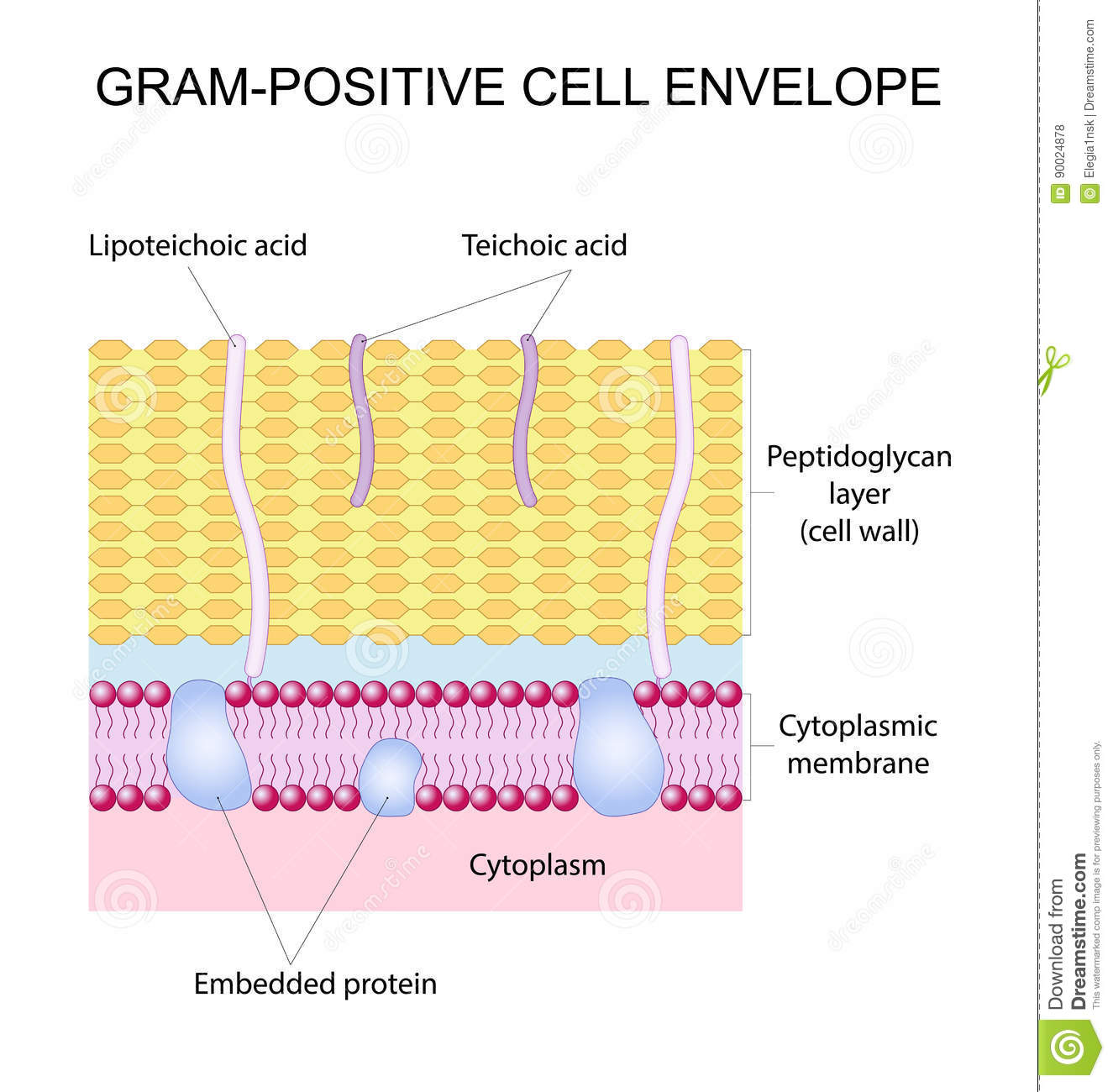 gram positive cell wall diagram soccer positions envelope stock vector illustration of