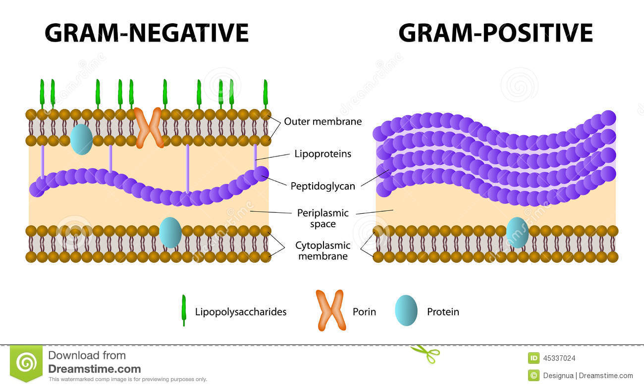 gram positive cell wall diagram 93 mustang alternator wiring gram-positive and gram-negative bacteria stock vector - illustration of antibiotic, germ: 45337024