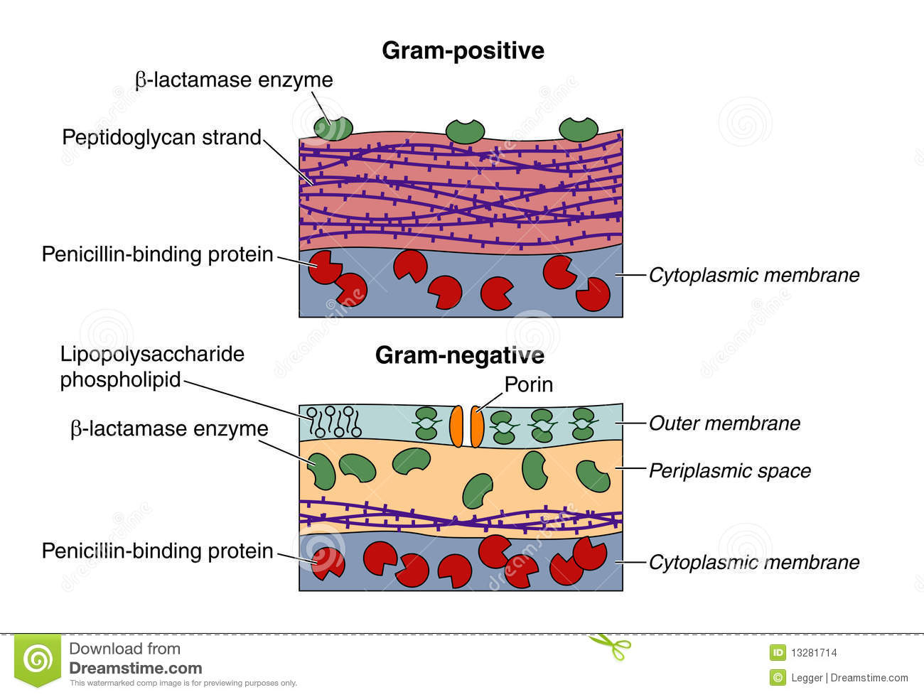 gram negative cell wall diagram 2006 f150 starter wiring positive and bacteria stock images image