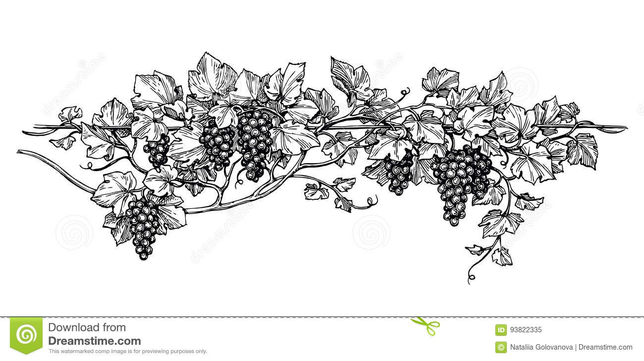 Grapevine ink sketch stock vector. Illustration of juicy