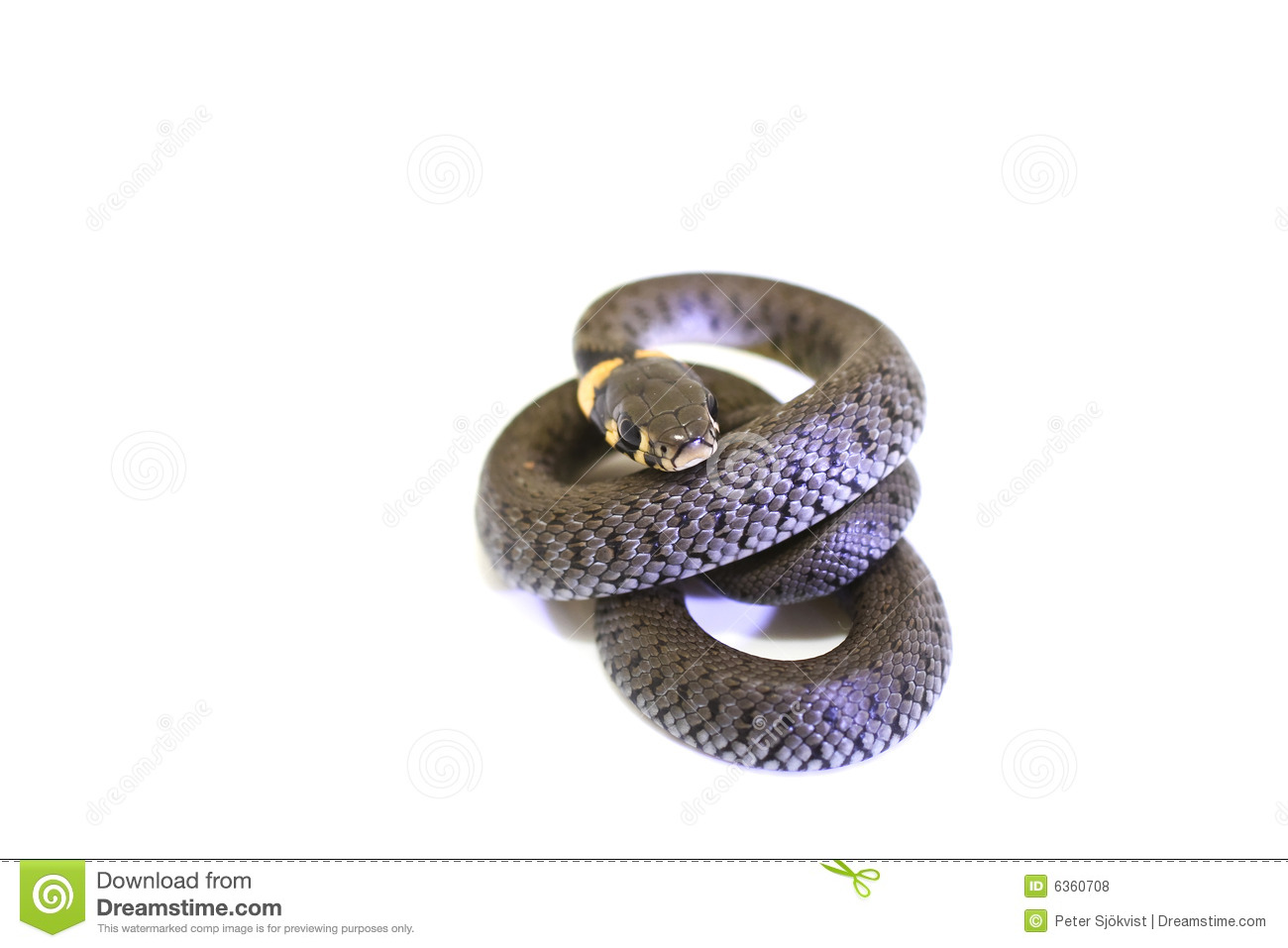 Grass Snake curl stock photo Image of reptile slim