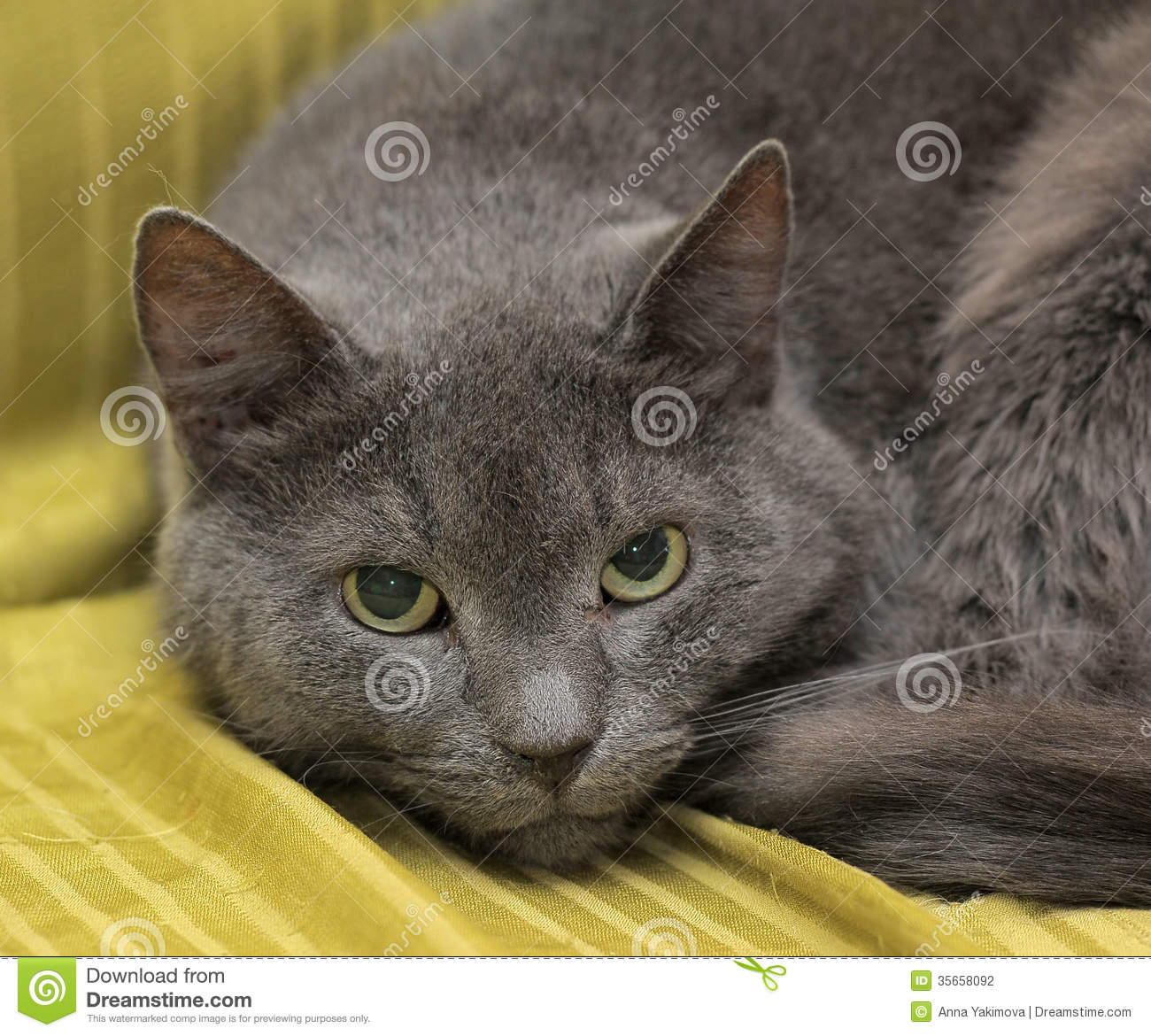 Gray cat stock photo Image of white breed domestic