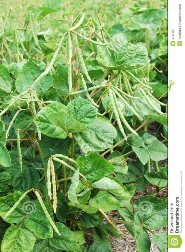 Green Beans Plant Stock - 4939420