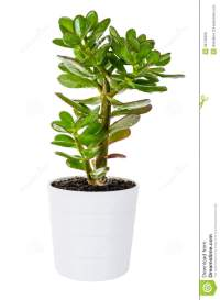 Green Crassula Or Money Tree In White Flower Pot Isolated ...