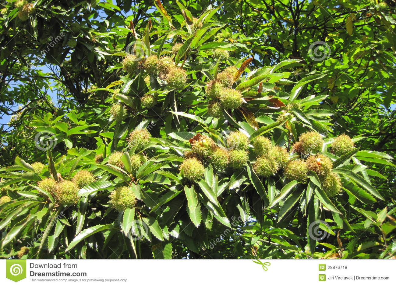 Edible Chestnuts Stock Photo Image Of Autumn Edible 29876718