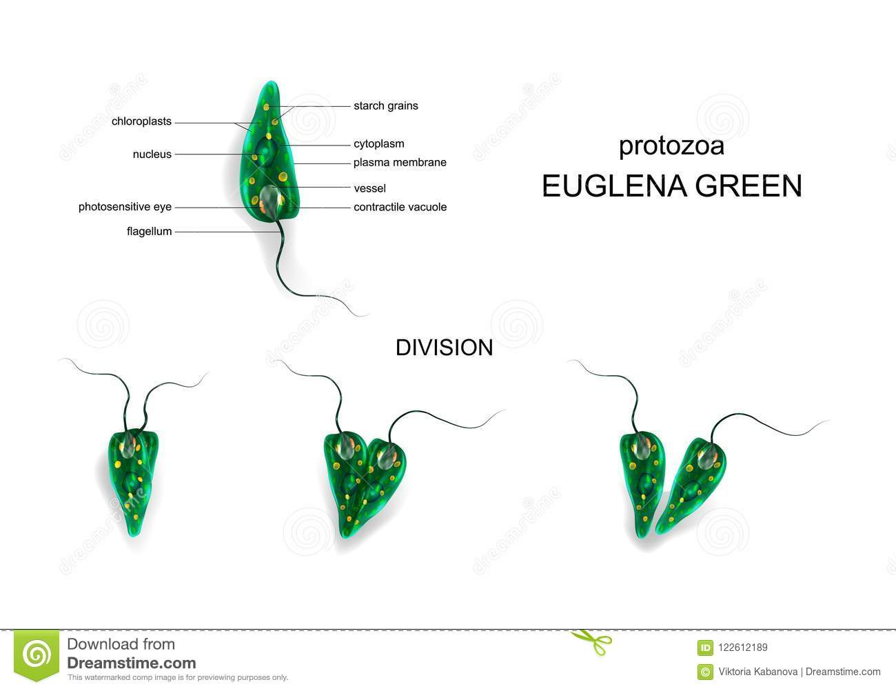 euglena diagram blank vaillant ecotec plus 418 wiring cartoons illustrations vector stock images 50 pictures to download from cartoondealer com