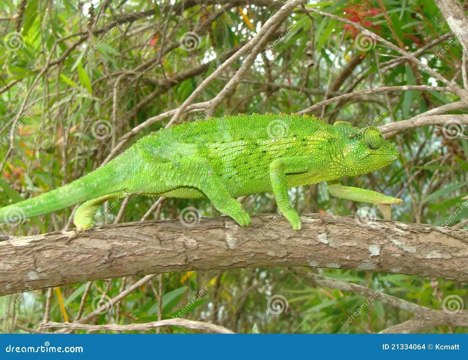 Green Female Jackson S Chameleon Lizard Chama Stock