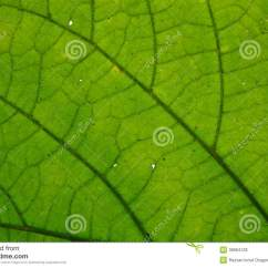 Inside Of A Leaf Diagram Gastric Antrum Anatomy Green Royalty Free Stock Image 38684126