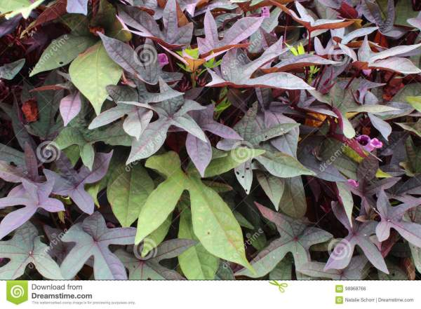 Green and Purple Sweet Potato Vines
