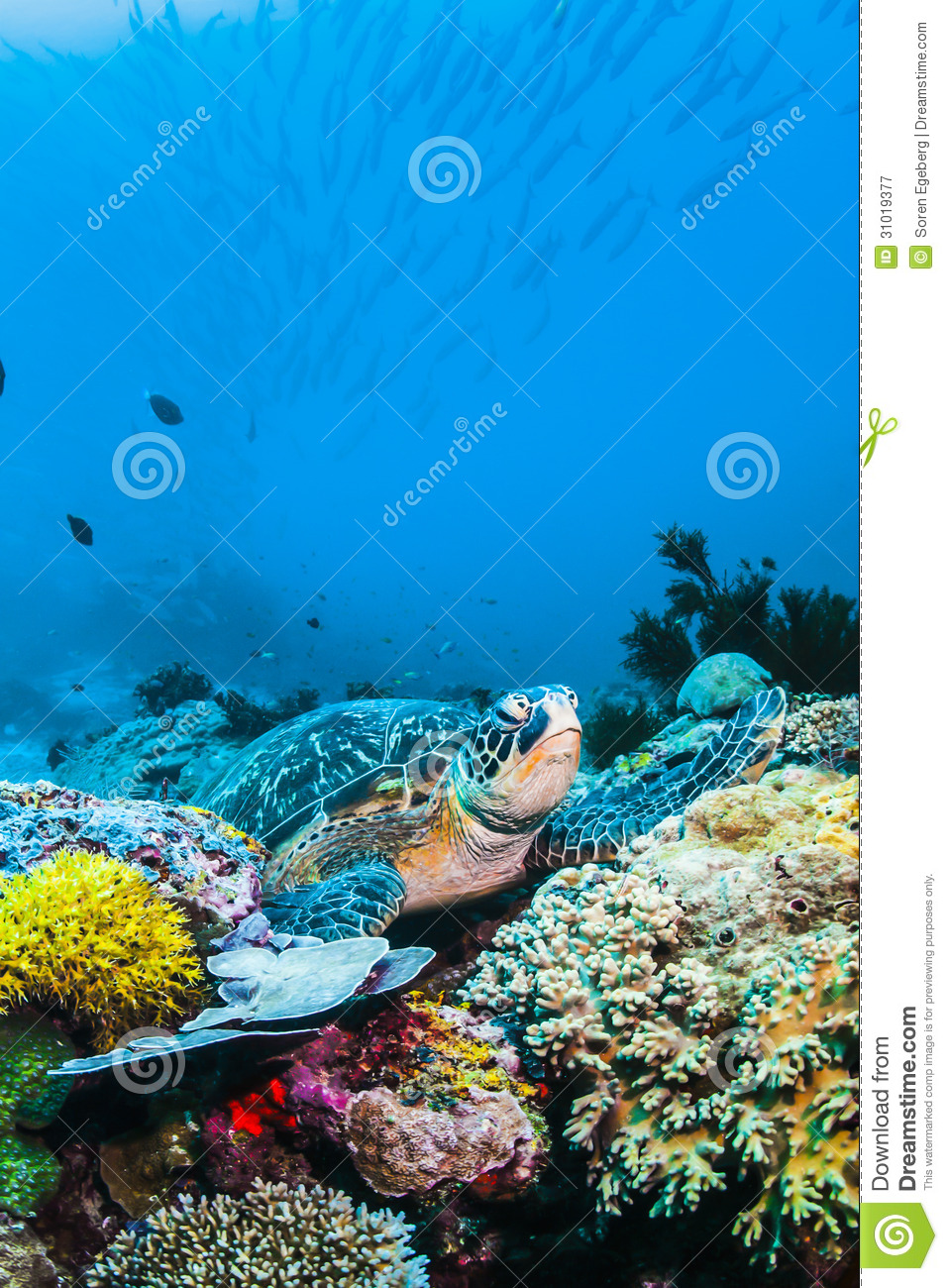 Green Sea Turtle On Colorful Coral Reef Underwater And
