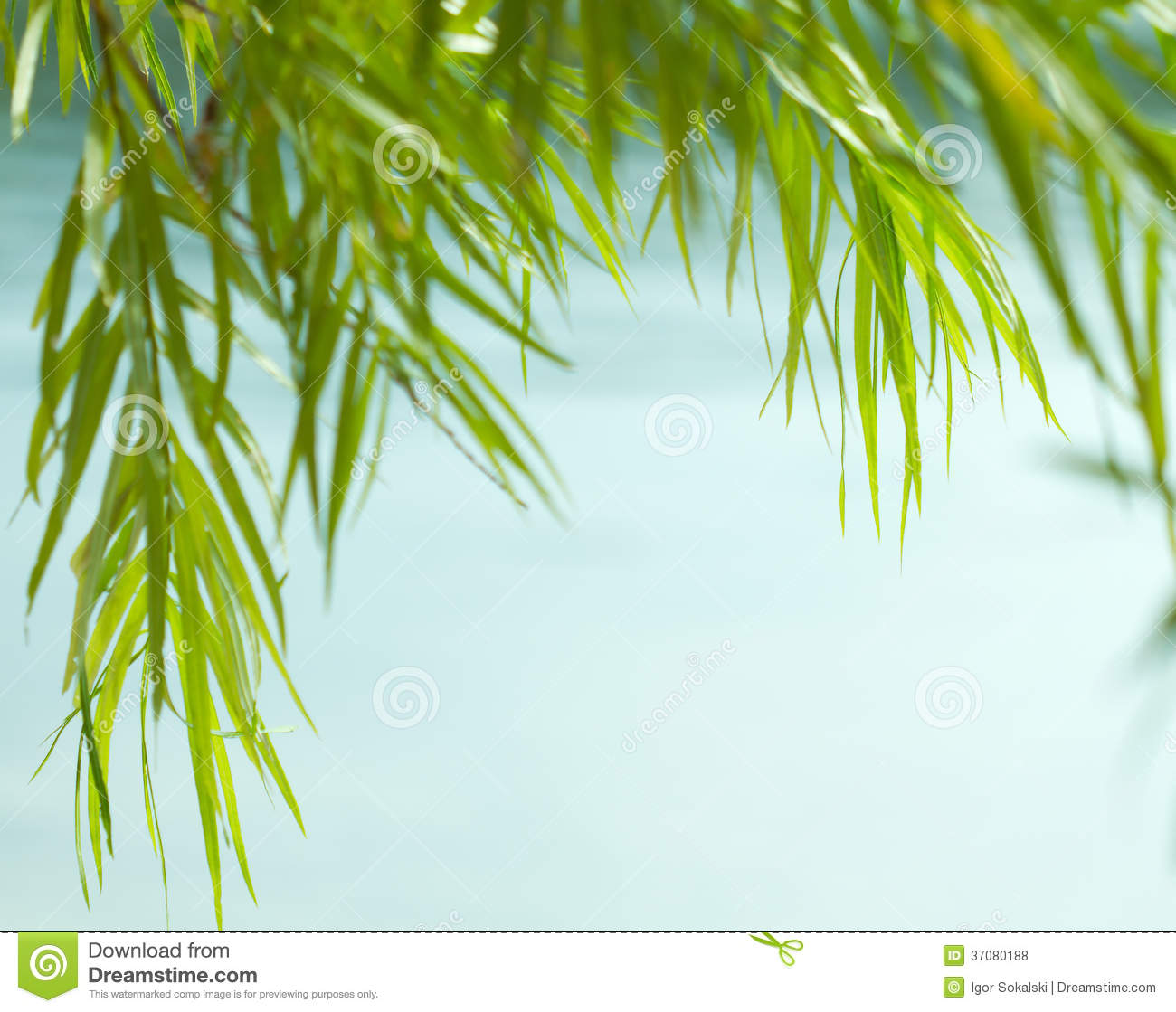 Green Willow Leaves Stock Photo Image Of Water Nature 37080188