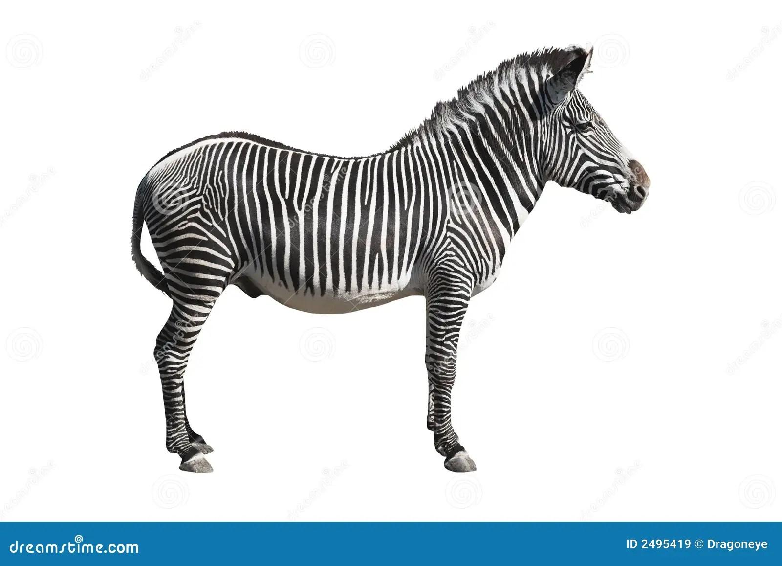 Grevy S Zebra Cutout Stock Image Image Of Mammal White