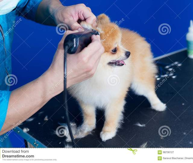 Groomer Haircut Cute Pomeranian In Hair Service