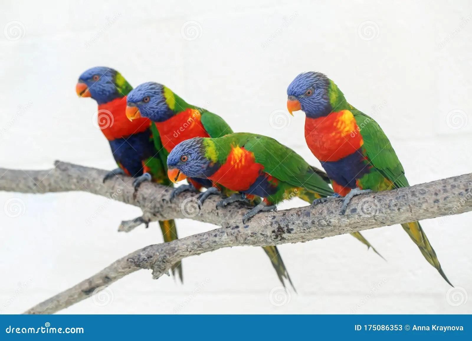 Group Of Four Colorful Little Lorikeet Parrots Beautiful