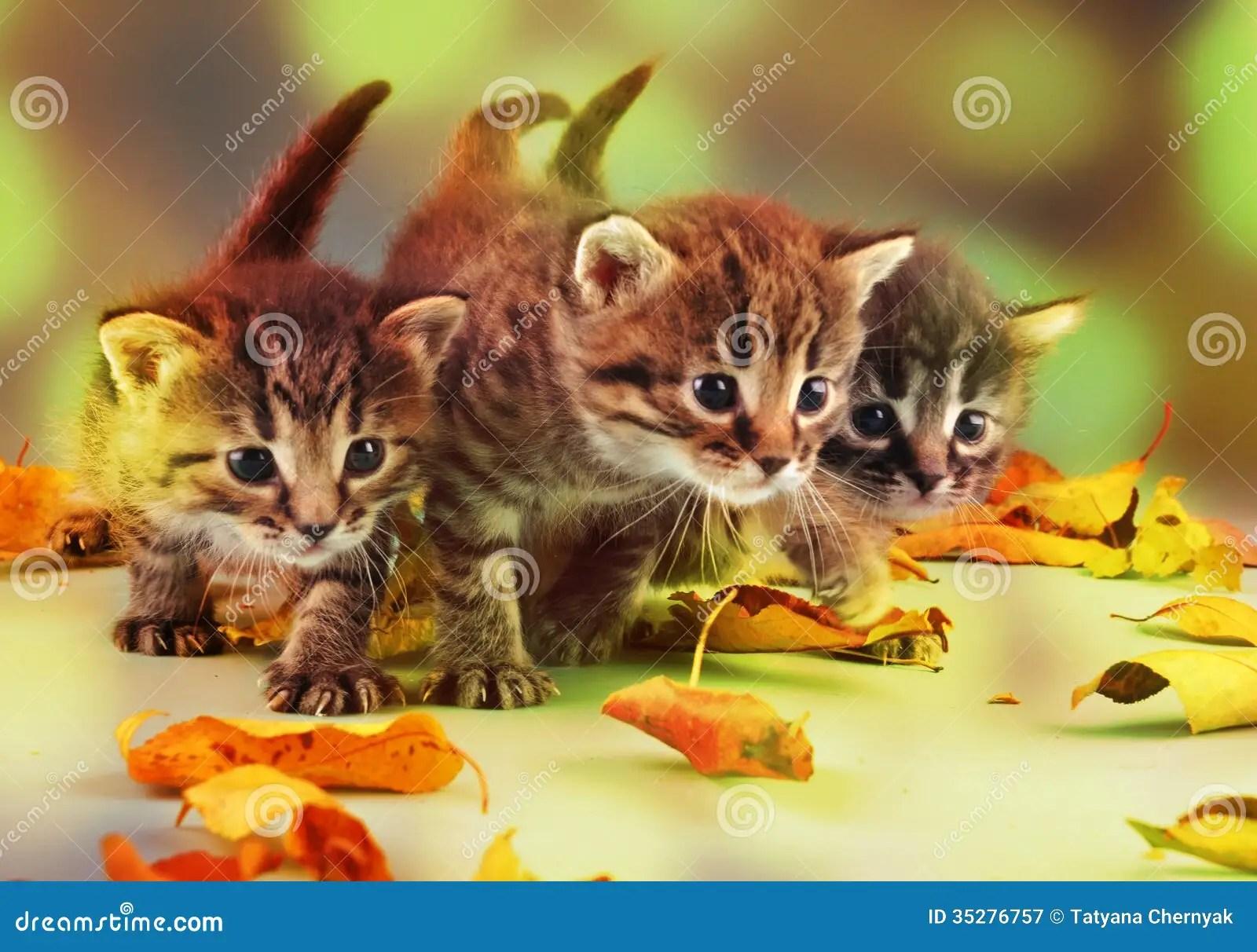 Fall Kitten Wallpaper Group Of Small Kittens In Autumn Leaves Stock Image