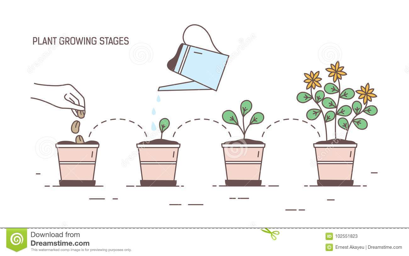 Growing Stages Of Potted Plant