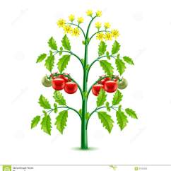 Plant Diagram Clip Art Cat5 Socket Wiring Growing Tomato Isolated On White Vector Stock - Illustration Of Agriculture, Photo ...