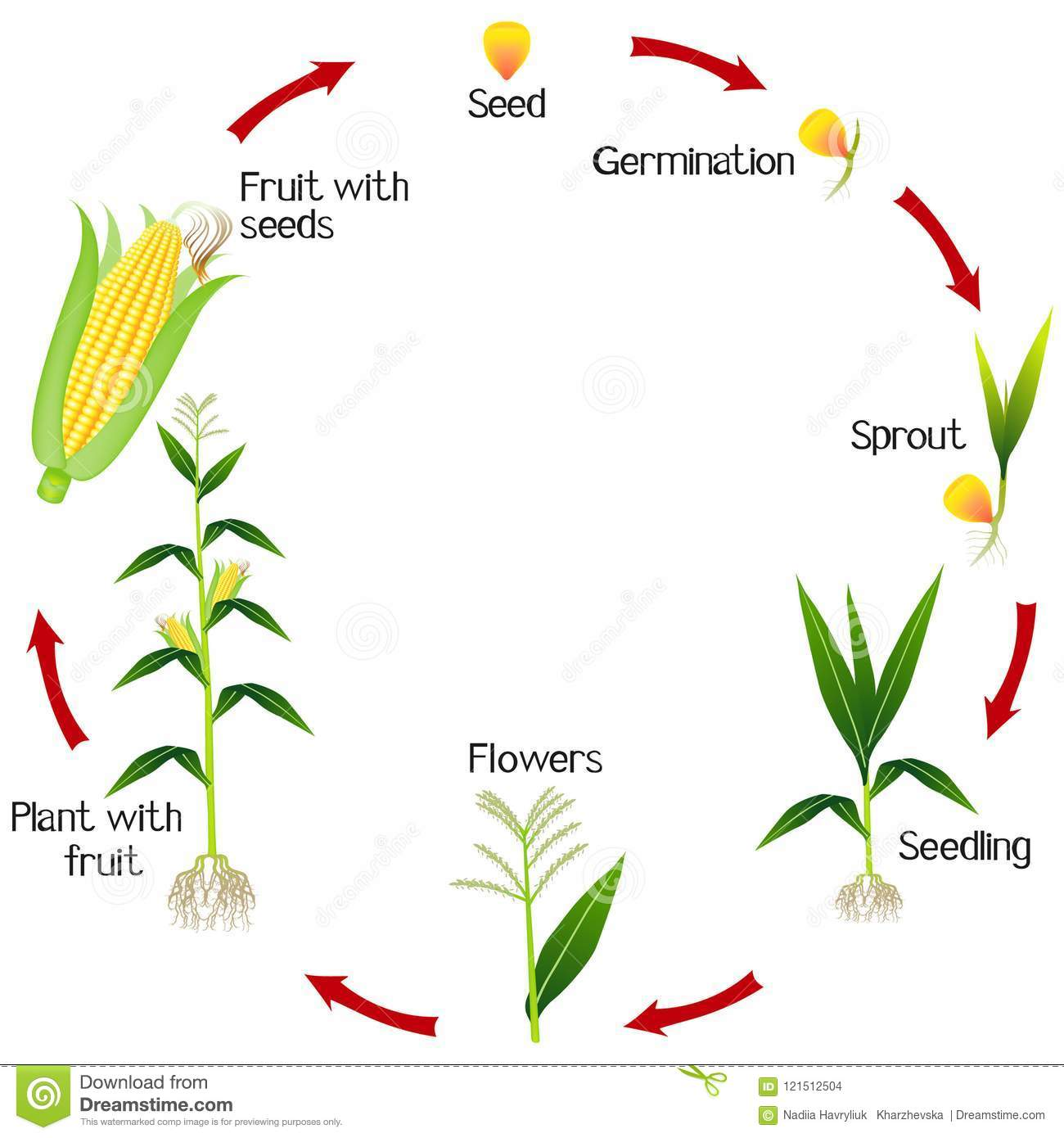A Growth Cycle Of A Corn Plant On A White Background