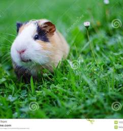 guinea pig walks in the fresh air and eating [ 1300 x 951 Pixel ]