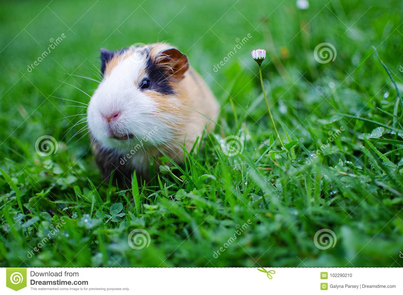 hight resolution of guinea pig walks in the fresh air and eating