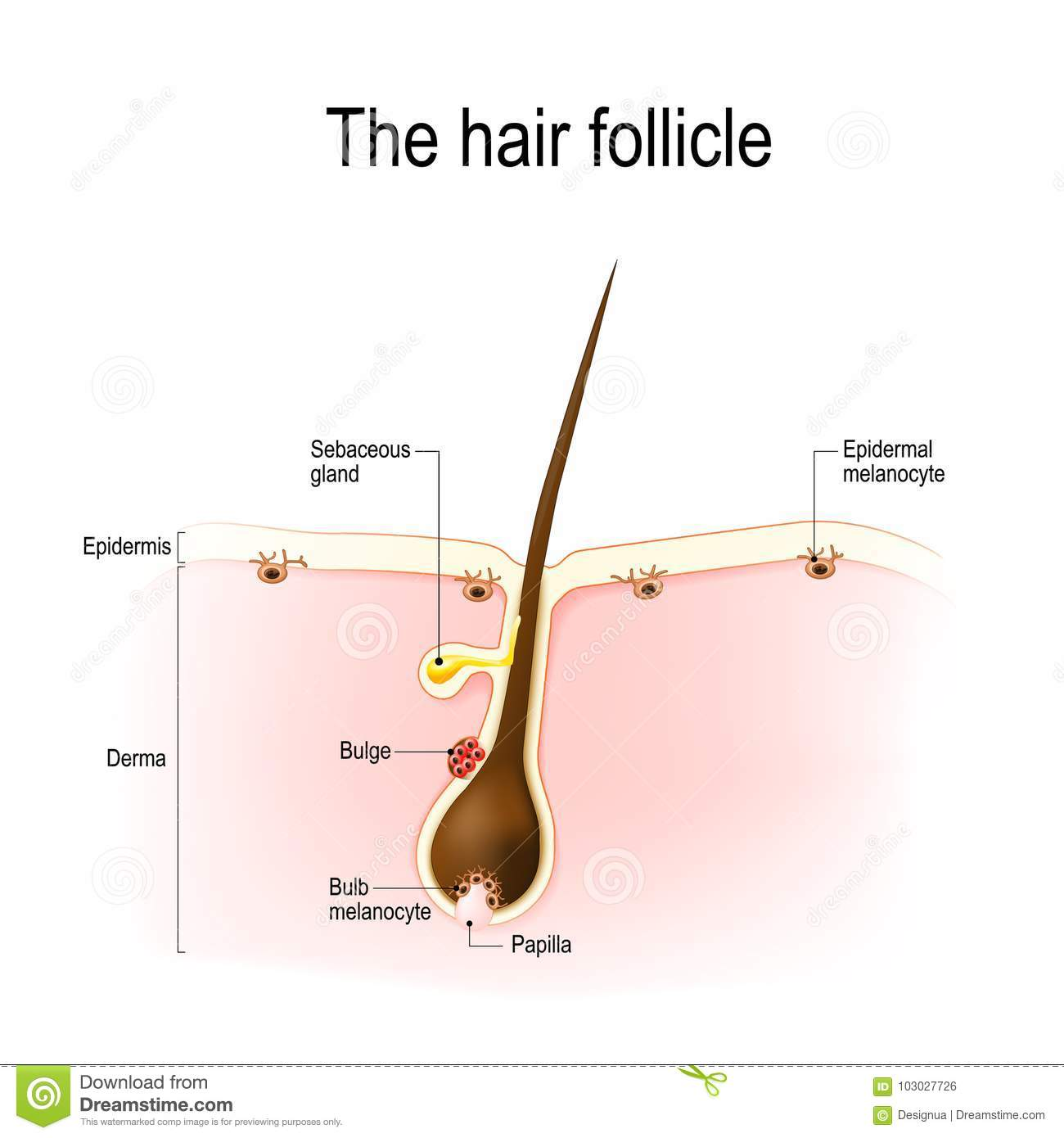Follicle Cartoons Illustrations Amp Vector Stock Images