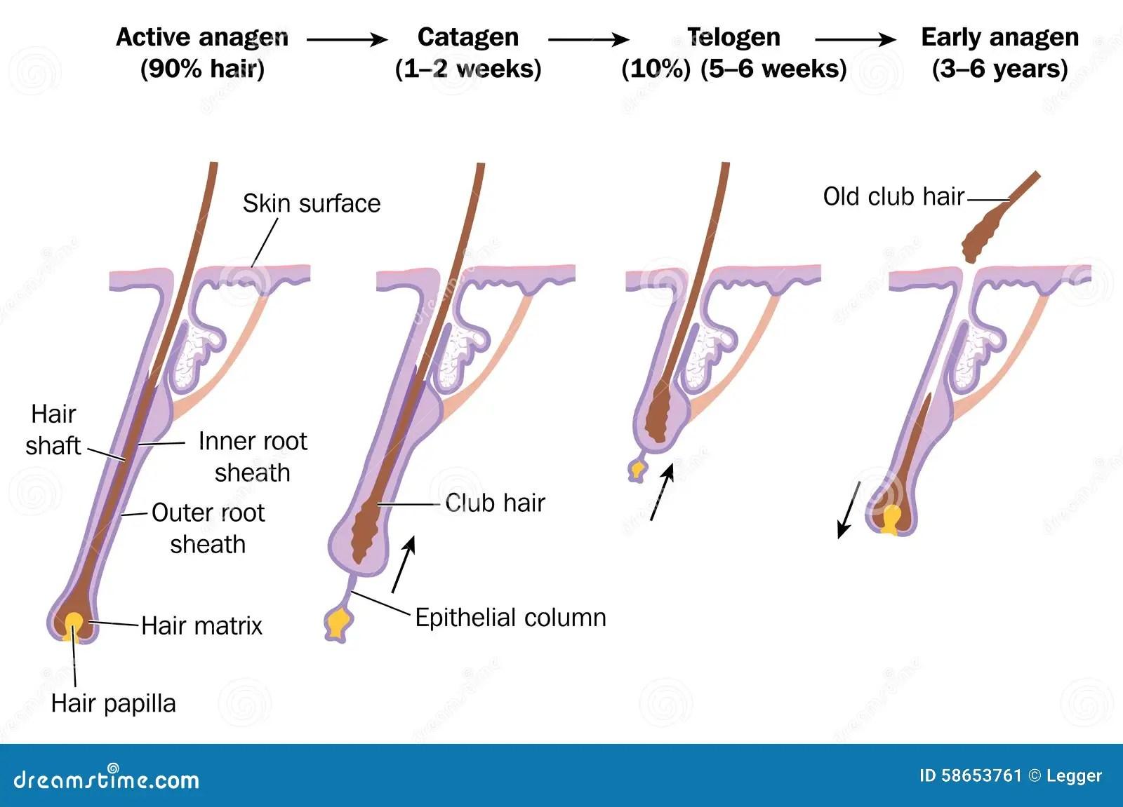 Hair Growth Cycle Stock Vector Illustration Of Sheath
