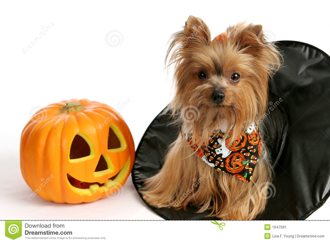 Free Fall Pumpkin Wallpaper Halloween Yorkie In Witch Hat Stock Image Image Of Humor