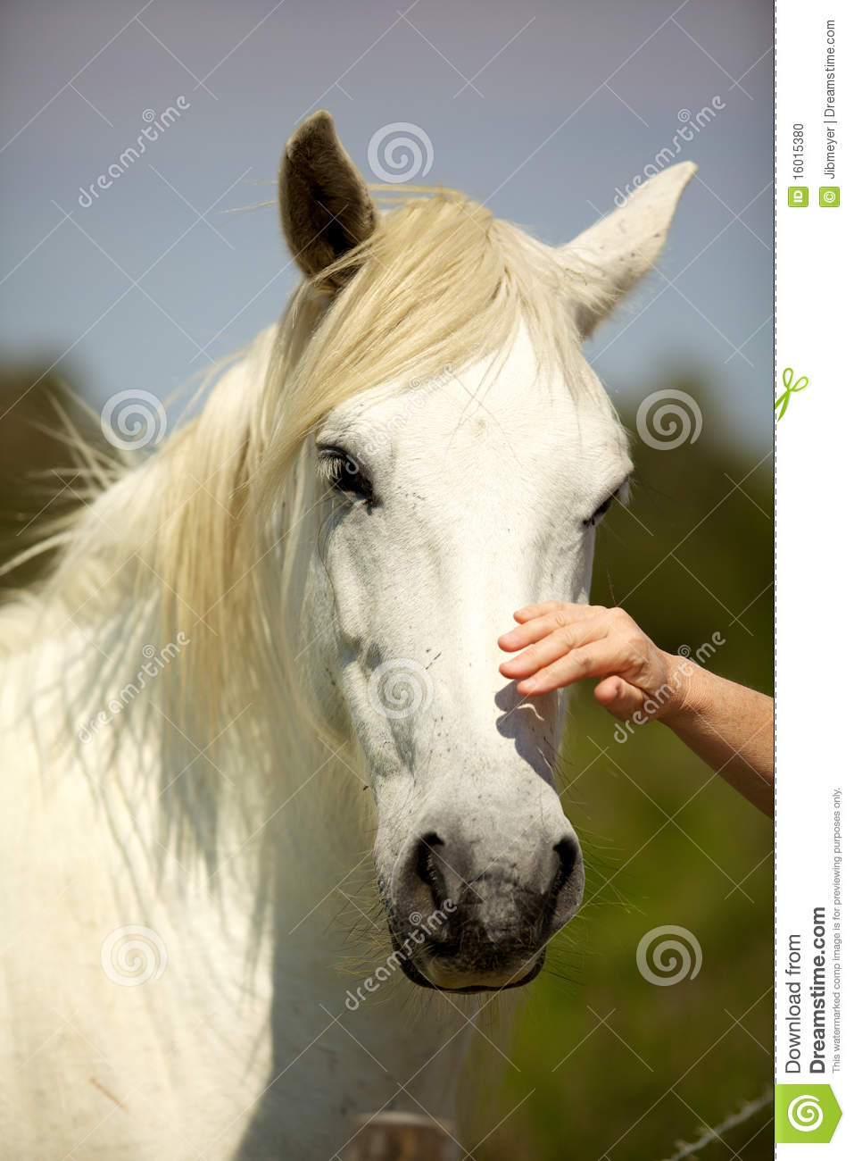 Hand Caressing A White Horse Head From Camargue Stock Photo  Image of france mane 16015380