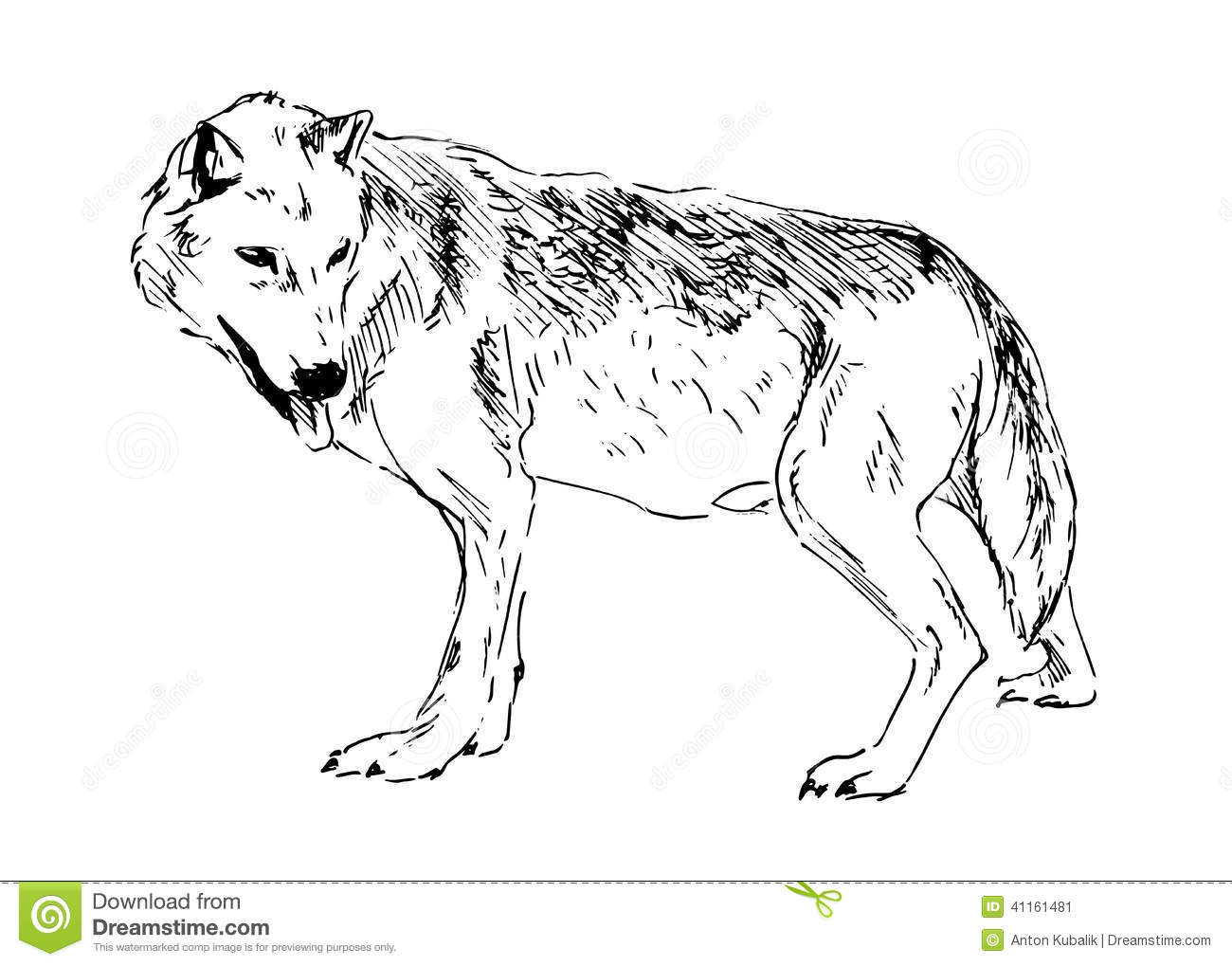 Hand Drawing A Wolf Stock Vector Image Of Portrait Furry