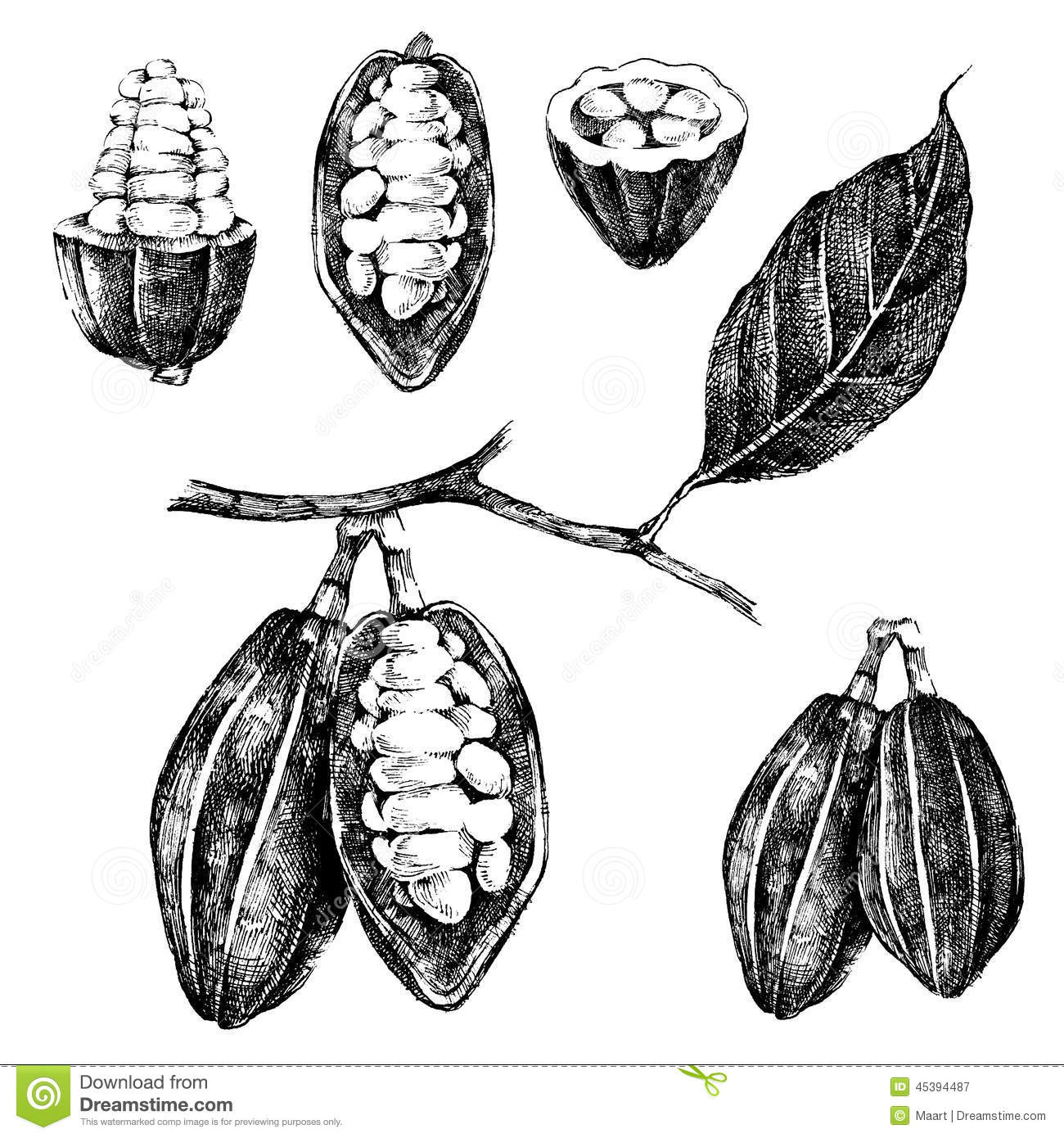 Hand Drawn Cocoa Beans Set Stock Vector Image Of