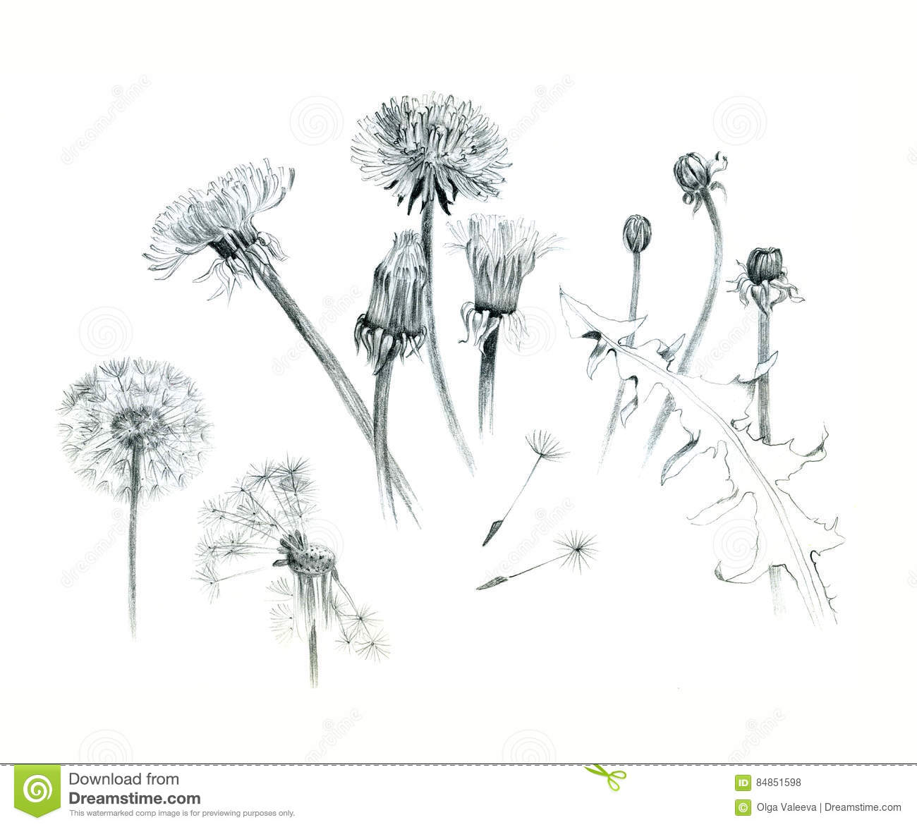 Hand Drawn Dandelions Illustration Graphite Isolated On