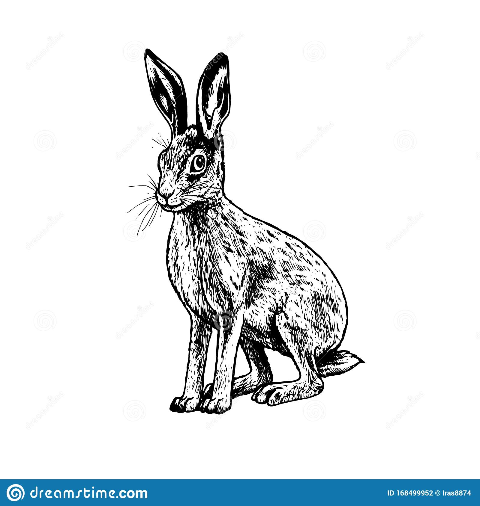 Hare Vector Drawing
