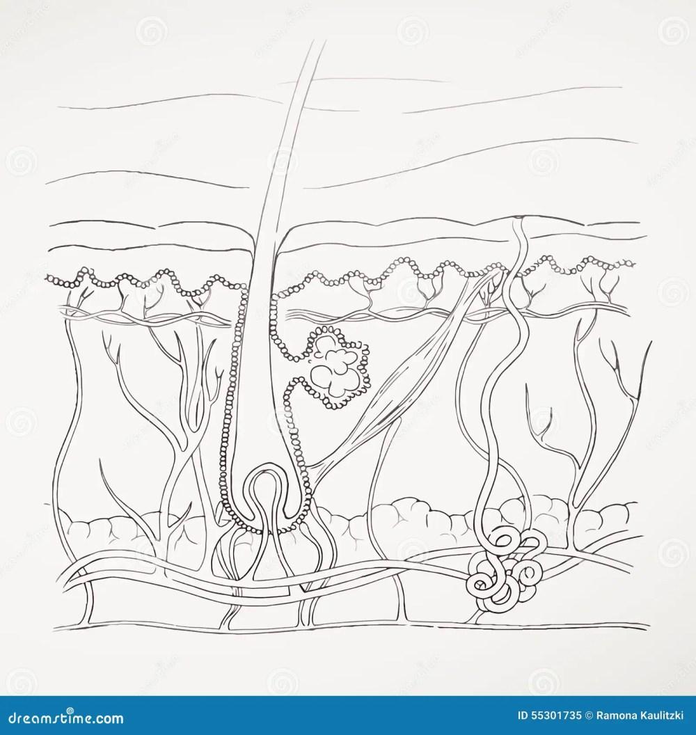 medium resolution of hand drawn human skin diagram