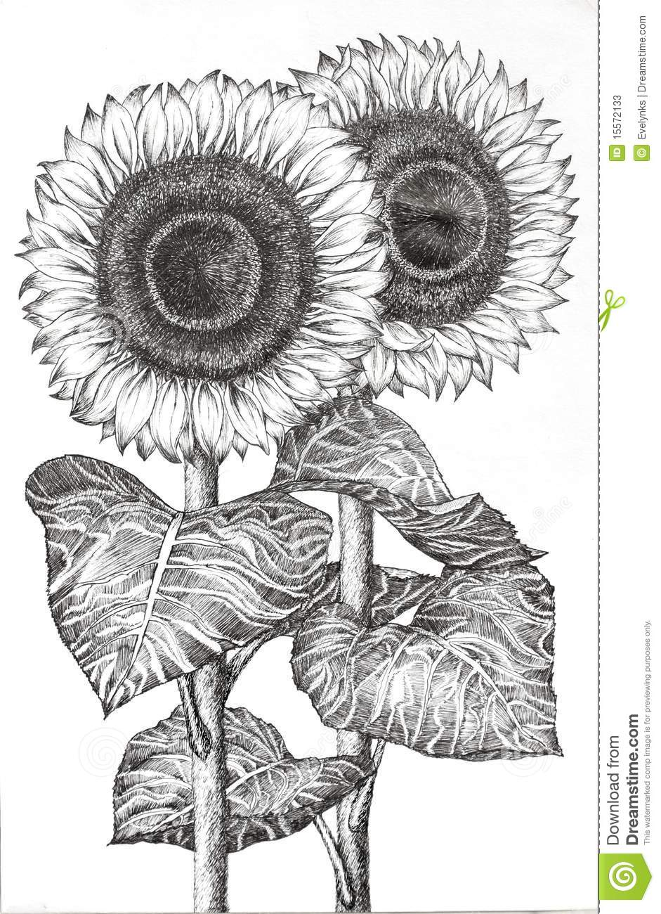 Water Animation Wallpaper Hand Drawn Image Of Two Sunflowers Stock Photos Image
