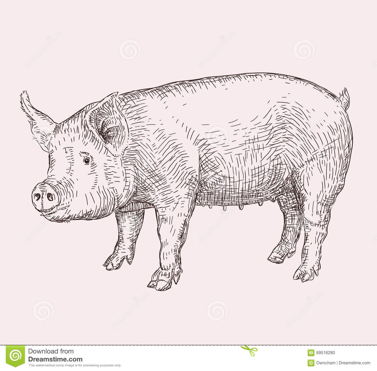 Hand Drawn Pig Stock Vector Image Of Painting Contour