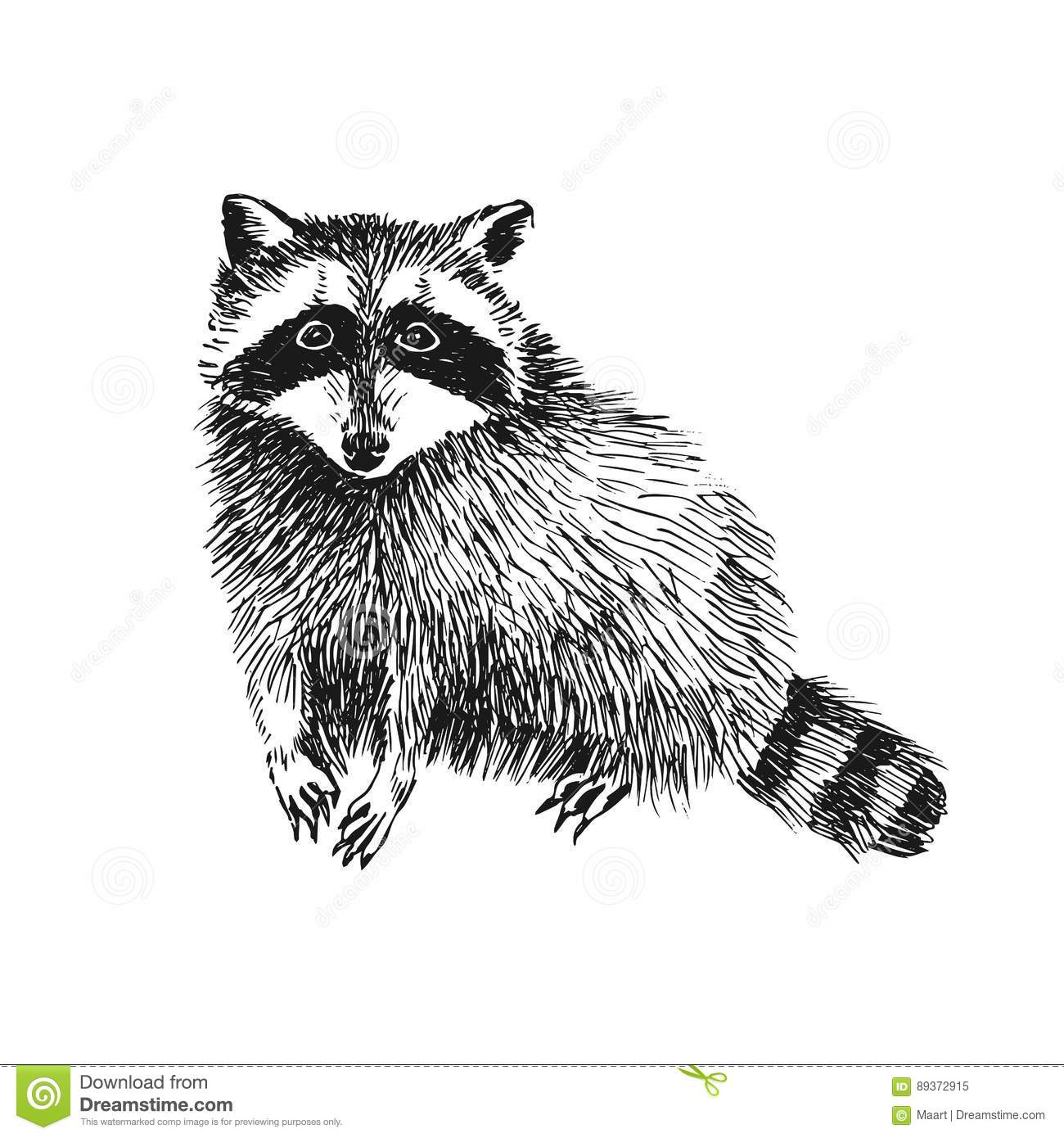 Hand Drawn Raccoon Stock Vector Illustration Of Cartoon