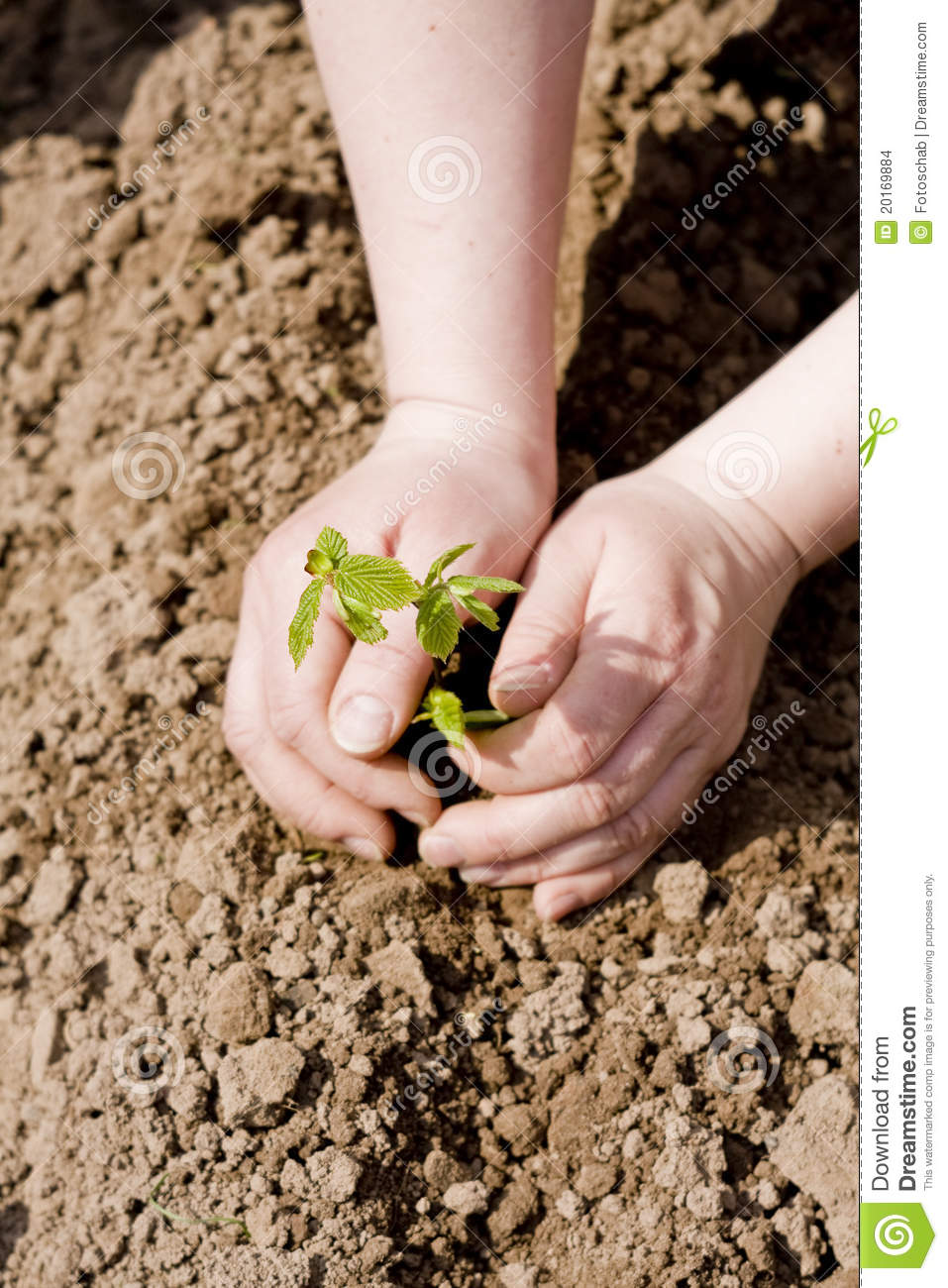 Hands Planting Iris Flower Plants Royalty Free Stock Photo