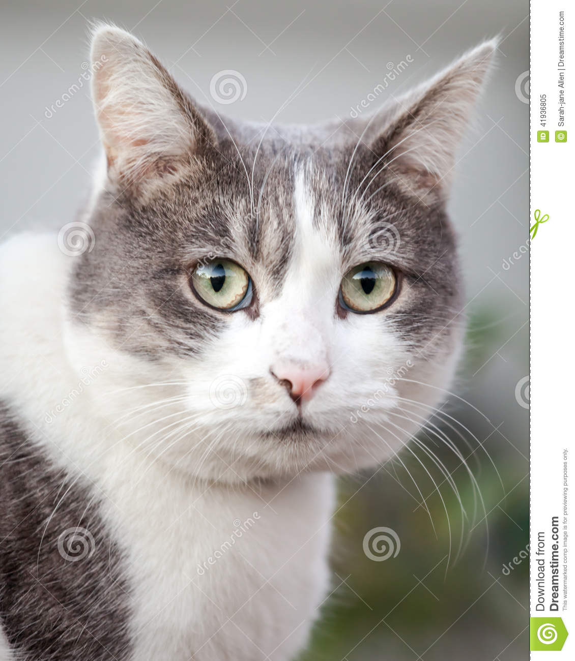 Head Of Grey And White Cat Looking Anxious And Stressed