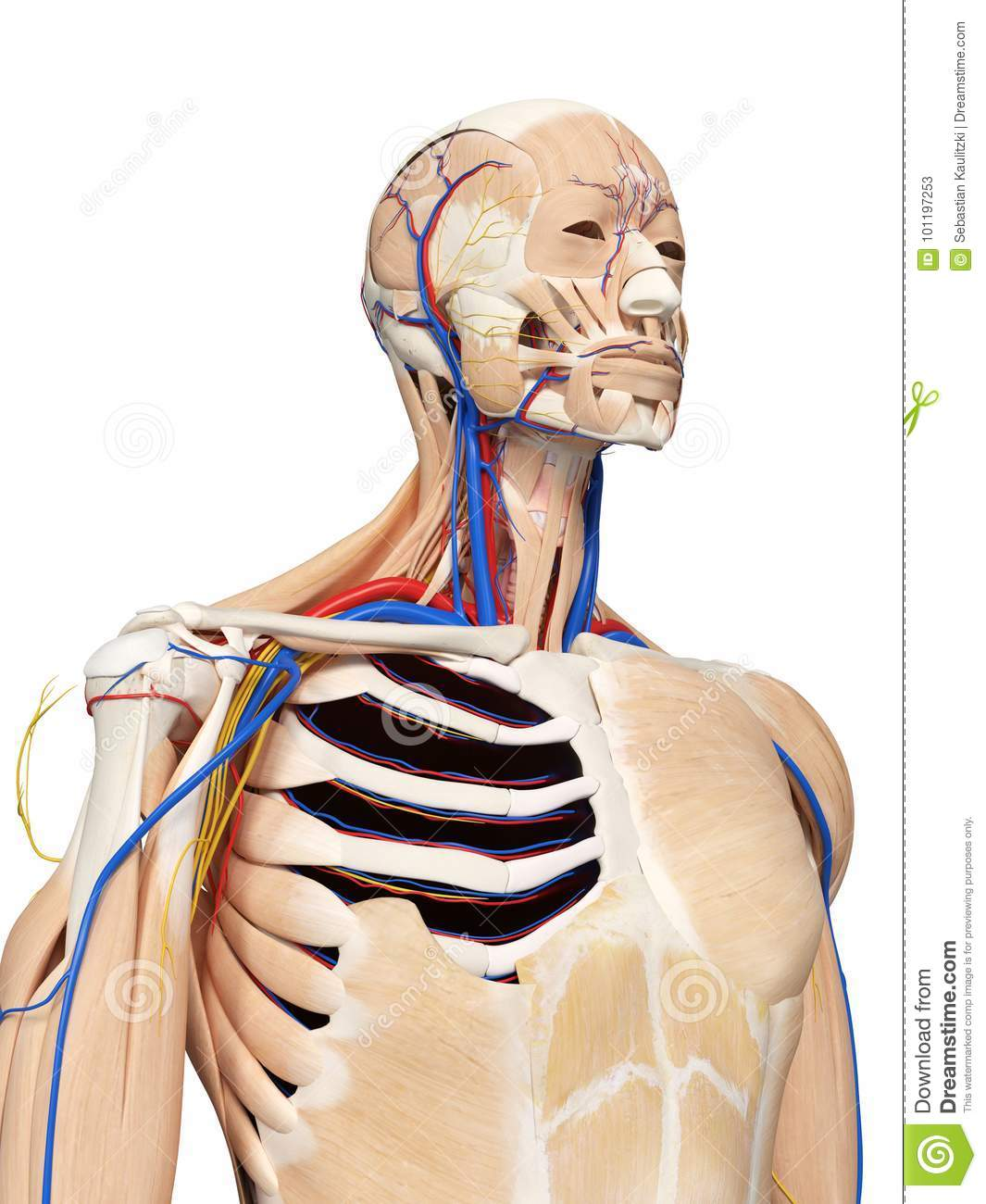 hight resolution of 3d rendered medically accurate illustration of the head and neck anatomy