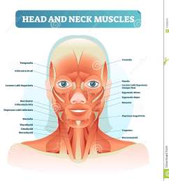 head and neck muscles labeled anatomical diagram facial vector diagram of face throat [ 1318 x 1300 Pixel ]