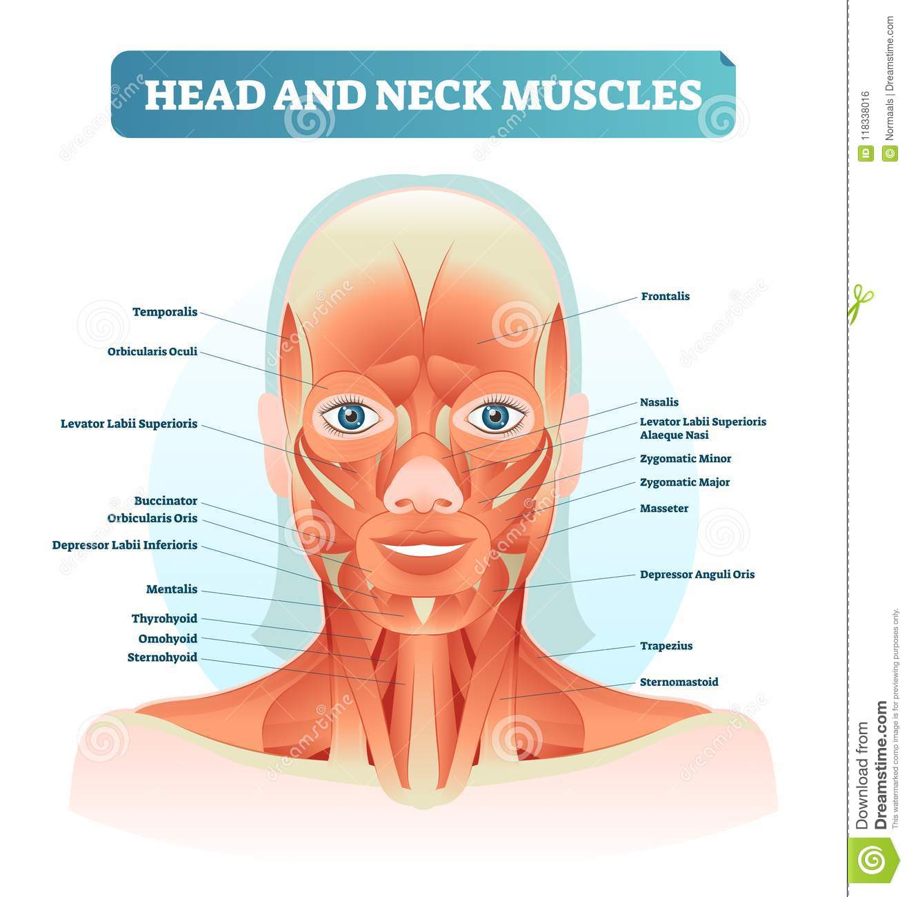 hight resolution of head and neck muscles labeled anatomical diagram facial vector diagram of face throat