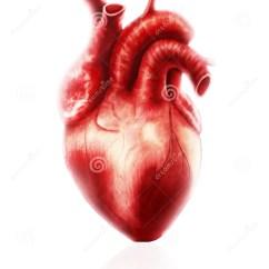 Slug Anatomy Diagram Junction Box Wiring Uk Heart Stock Illustration Of Cardiovascular