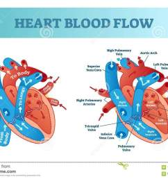 heart blood flow circulation anatomical diagram with atrium and ventricle system vector illustration labeled medical poster  [ 1300 x 959 Pixel ]