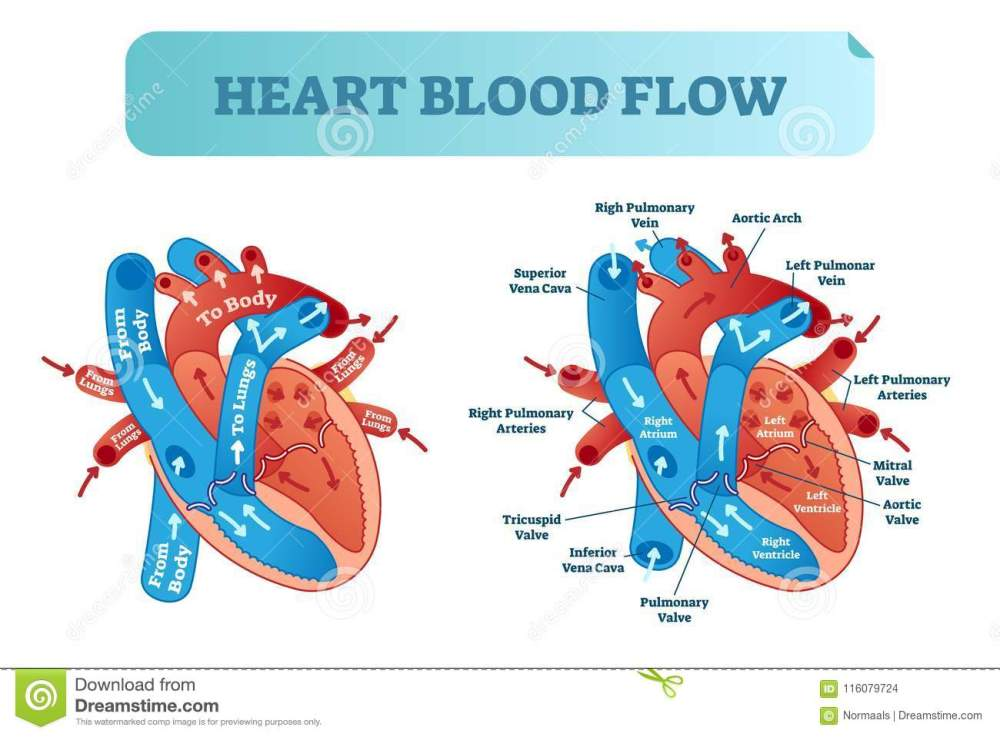 medium resolution of heart blood flow circulation anatomical diagram with atrium and ventricle system vector illustration labeled medical poster